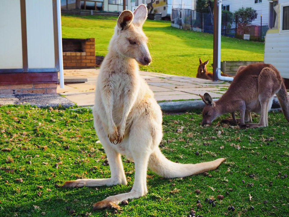 The very rare albino kangaroo