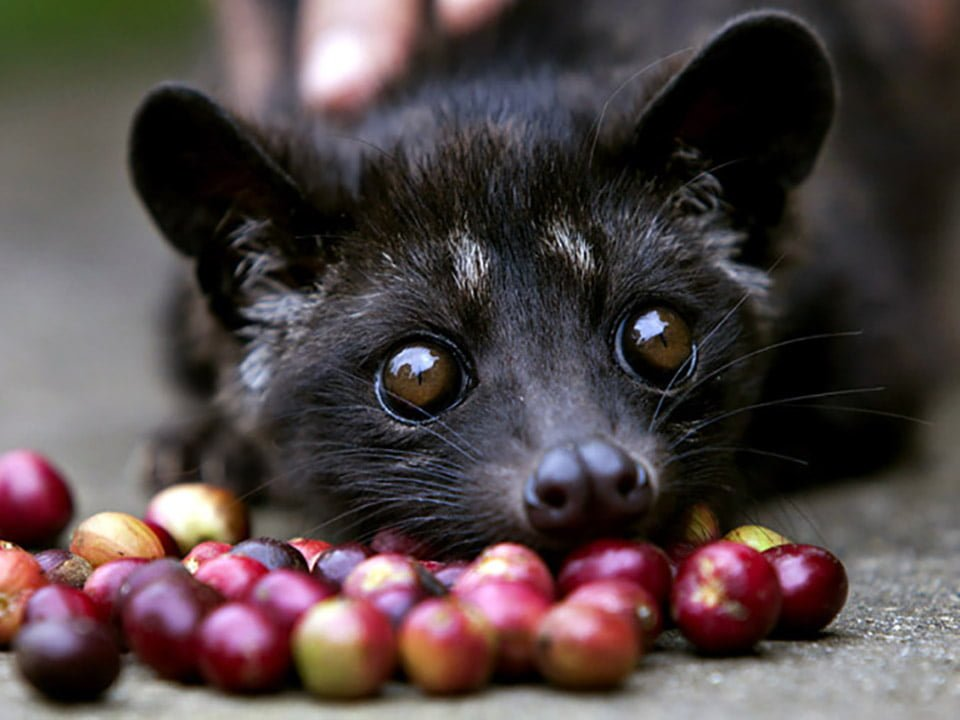A four month old Luwak is tempted by some red coffee beans (eduscience.pl)