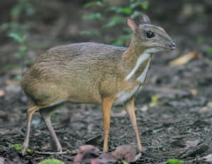 I would love to take a picture like this, but I haven't seen a famous mouse deer. Photo by Albert Noorlander