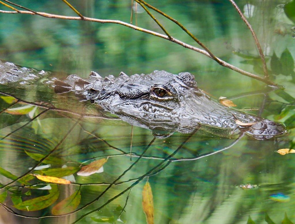 Polowanie (z aparatem!) na aligatory w Everglades na Florydzie